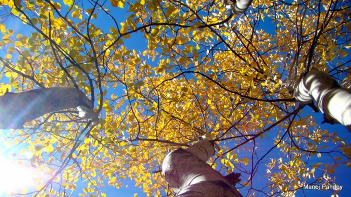 Aspen tree colors